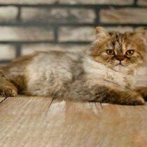 گربه بریتیش گلد