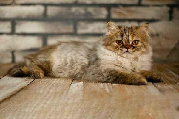 پتریزو | فروشگاه اینترنتی گربه|آرایشگاه حیوانات|بهترین فروشگاه گربه|فروش گربه Screenshot_20210207-211939_Instagram بریتیش مو بلند بسیار اصیل و کمیاب ماده سه ماهه