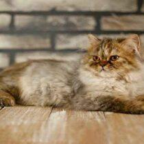 پتریزو | فروشگاه اینترنتی گربه|آرایشگاه حیوانات|بهترین فروشگاه گربه|فروش گربه Screenshot_20210207-211942_Instagram-210x210 صفحه اصلی