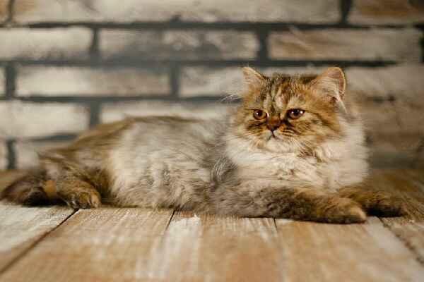 پتریزو   فروشگاه اینترنتی گربه آرایشگاه حیوانات بهترین فروشگاه گربه فروش گربه Screenshot_20210207-211942_Instagram بریتیش مو بلند بسیار اصیل و کمیاب ماده سه ماهه