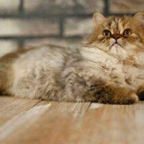 پتریزو | فروشگاه اینترنتی گربه|آرایشگاه حیوانات|بهترین فروشگاه گربه|فروش گربه Screenshot_20210207-211946_Instagram-210x210 صفحه اصلی