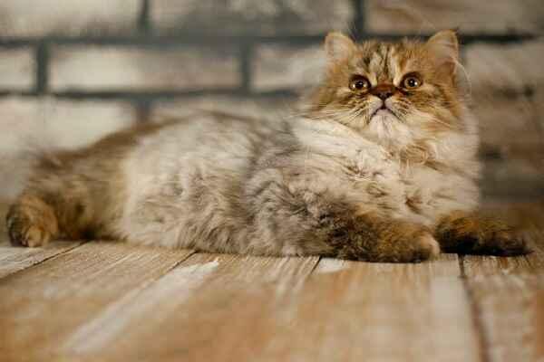 پتریزو | فروشگاه اینترنتی گربه|آرایشگاه حیوانات|بهترین فروشگاه گربه|فروش گربه Screenshot_20210207-211946_Instagram بریتیش مو بلند بسیار اصیل و کمیاب ماده سه ماهه