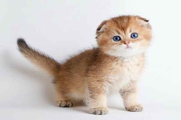 پتریزو | فروشگاه اینترنتی گربه|آرایشگاه حیوانات|بهترین فروشگاه گربه|فروش گربه Screenshot_20210207-211953_Instagram گربه اسکاتیش گلد | ny11