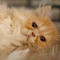 پتریزو | فروشگاه اینترنتی گربه|آرایشگاه حیوانات|بهترین فروشگاه گربه|فروش گربه Screenshot_20210207-212029_Instagram-210x210 صفحه اصلی