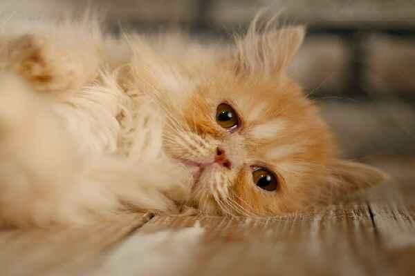 پتریزو | فروشگاه اینترنتی گربه|آرایشگاه حیوانات|بهترین فروشگاه گربه|فروش گربه Screenshot_20210207-212029_Instagram گربه پرشین مو کوتاه فلت کرم | ماده سه ماهه
