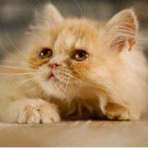 گربه پرشین مو کوتاه