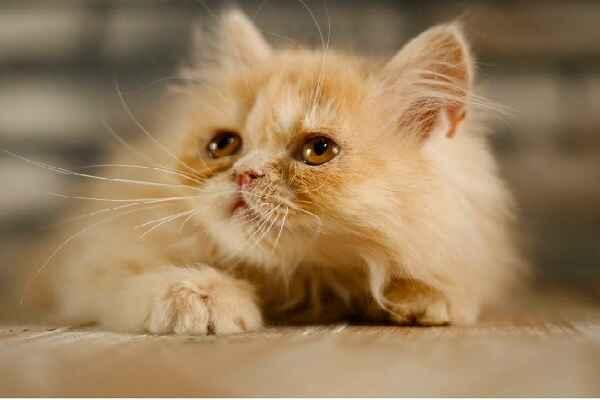 پتریزو | فروشگاه اینترنتی گربه|آرایشگاه حیوانات|بهترین فروشگاه گربه|فروش گربه Screenshot_20210207-212033_Instagram گربه پرشین مو کوتاه فلت کرم | ماده سه ماهه
