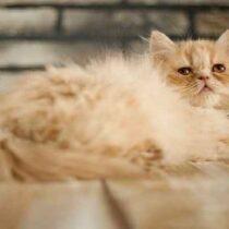 پتریزو | فروشگاه اینترنتی گربه|آرایشگاه حیوانات|بهترین فروشگاه گربه|فروش گربه Screenshot_20210207-212036_Instagram-210x210 صفحه اصلی
