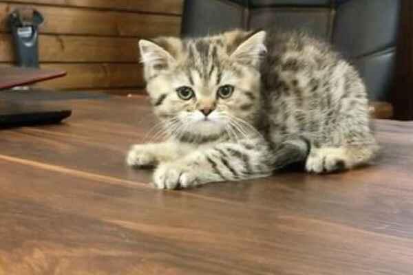 پتریزو | فروشگاه اینترنتی گربه|آرایشگاه حیوانات|بهترین فروشگاه گربه|فروش گربه Screenshot_20210207-215542_Instagram بریتیش گلد چین چیلا ny24 ماده 60 روزه| اصیل و کمیاب