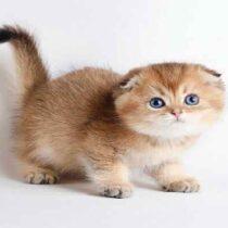 گربه اسکاتیش فولد سفید