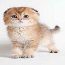 گربه ی چین چیلا