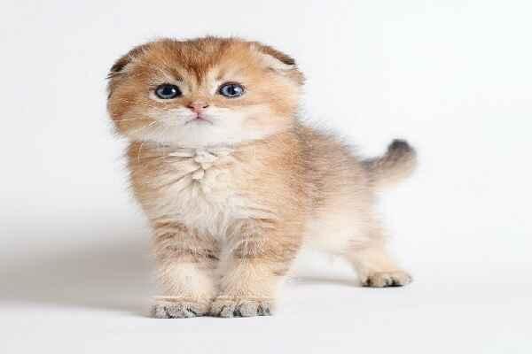 پتریزو   فروشگاه اینترنتی گربه آرایشگاه حیوانات بهترین فروشگاه گربه فروش گربه Screenshot_20210215-101317_Instagram گربه اسکاتیش فولد گلد چینچیلا مو کوتاه خاص و کمیاب   نر 50 روزه