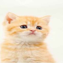 گربه بریتیش لانگ هیر