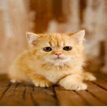 پتریزو | فروشگاه اینترنتی گربه|آرایشگاه حیوانات|بهترین فروشگاه گربه|فروش گربه Screenshot_20210215-101335_Instagram-210x210 صفحه اصلی