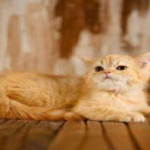 گربه اسکاتیش گلد