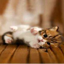 پتریزو | فروشگاه اینترنتی گربه|آرایشگاه حیوانات|بهترین فروشگاه گربه|فروش گربه Screenshot_20210215-101350_Instagram-210x210 صفحه اصلی