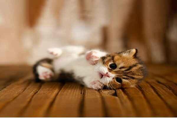 پتریزو | فروشگاه اینترنتی گربه|آرایشگاه حیوانات|بهترین فروشگاه گربه|فروش گربه Screenshot_20210215-101350_Instagram اسکاتیش گلد ny24 بای کالر مو کوتاه نر 25 روزه | اصیل و کمیاب | تحویل در 50 روزگی