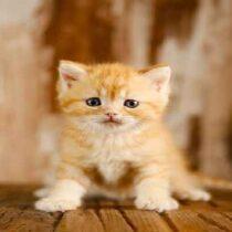 پتریزو | فروشگاه اینترنتی گربه|آرایشگاه حیوانات|بهترین فروشگاه گربه|فروش گربه Screenshot_20210215-101355_Instagram-210x210 صفحه اصلی