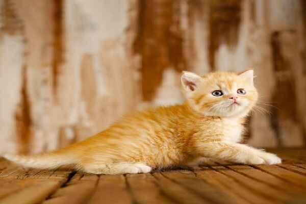 پتریزو   فروشگاه اینترنتی گربه آرایشگاه حیوانات بهترین فروشگاه گربه فروش گربه Screenshot_20210215-101358_Instagram بریتیش رنگ نارنجی مو کوتاه فوق العاده اصیل و کمیاب   نر 50 روزه