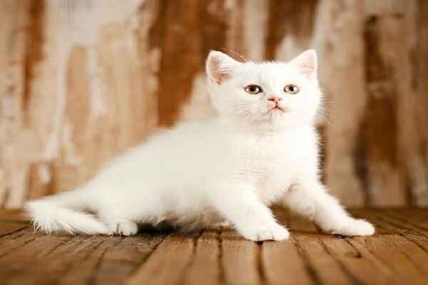 پتریزو | فروشگاه اینترنتی گربه|آرایشگاه حیوانات|بهترین فروشگاه گربه|فروش گربه Screenshot_20210215-101404_Instagram بریتیش سفید برفی مو کوتاه فوق العاده اصیل و کمیاب | نر 60 روزه