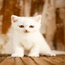 گربه ی بریتیش سفید