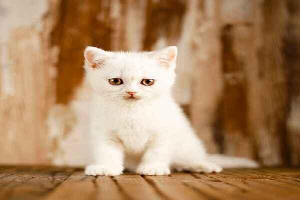 پتریزو   فروشگاه اینترنتی گربه آرایشگاه حیوانات بهترین فروشگاه گربه فروش گربه Screenshot_20210215-101411_Instagram بریتیش سفید برفی مو کوتاه فوق العاده اصیل و کمیاب   نر 60 روزه