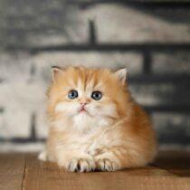 پتریزو | فروشگاه اینترنتی گربه|آرایشگاه حیوانات|بهترین فروشگاه گربه|فروش گربه WhatsApp-Image-2021-04-08-at-19.26.26-1-210x210 صفحه اصلی