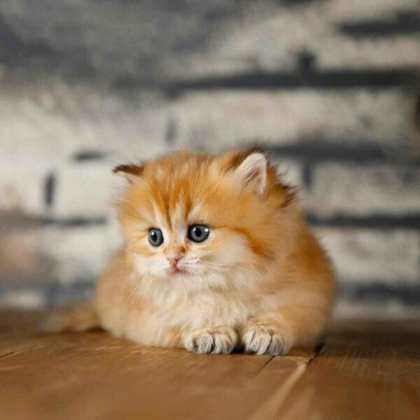 پتریزو | فروشگاه اینترنتی گربه|آرایشگاه حیوانات|بهترین فروشگاه گربه|فروش گربه WhatsApp-Image-2021-04-08-at-19.26.26-600x600 بریتیش گلد چینچیلا ny11 فوق العاده کمیاب و اصیل | نر 50 روزه