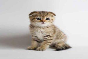 پتریزو | فروشگاه اینترنتی گربه|آرایشگاه حیوانات|بهترین فروشگاه گربه|فروش گربه -فولد-بنگال-300x200 اسکاتیش فولد بنگال نارنجی و سیاه راهنمای نژاد های گربه ها سلامتی و بهداشت گربه ها گربه گربه اسکاتیش قیمت گربه اسکاتیش سفید گربه اسکاتیش بلو فروش گربه اسکاتیش آنفولد فروش گربه اسکاتیش اسکاتیش فولد