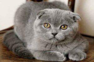 پتریزو | فروشگاه اینترنتی گربه|آرایشگاه حیوانات|بهترین فروشگاه گربه|فروش گربه -های-اسکاتیش-300x200 جهش ژنتیکی اسکاتیش فولد ارایشگاه حیوانات بلاگ تغذیه و رژیم غذایی گربه ها راهنمای نژاد های گربه ها سلامتی و بهداشت گربه ها نگهداری گربه گربه اسکاتیش قیمت گربه اسکاتیش سفید گربه اسکاتیش بلو فروش گربه اسکاتیش آنفولد بیماری های اسکاتیش فولد اسکاتیش فولد