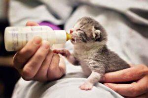 پتریزو | فروشگاه اینترنتی گربه|آرایشگاه حیوانات|بهترین فروشگاه گربه|فروش گربه -غذای-مناسب-بچه-گربه-300x200 چقدر می توان یک بچه گربه را تغذیه کرد - از سه ماه تا یک سالگی بلاگ تغذیه مناسب برای گربه تغذیه گربه های لاغر تغذیه گربه های چاق تغذیه شیر مادر گربه تعادل در تغذیه بچه گربه