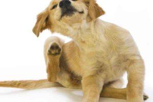 پتریزو | فروشگاه اینترنتی گربه|آرایشگاه حیوانات|بهترین فروشگاه گربه|فروش گربه -بدن-سگ-300x200 آناپلاسموز و ارلیشیوز در سگها و انسان سلامتی و بهداشت سگ ها نظافت نظافت حیوانات خانگی نگهداری و آشنایی با سگ ها نظافت سگ کنه سگ سلامت سگ ها بیماری سگ ها بیماری سگ برای انسان بهداشت سگ